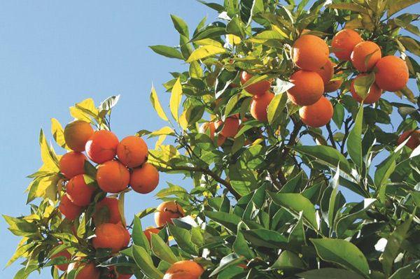 Збирати апельсини, майорка, іспанія