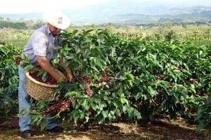 Плантації какао