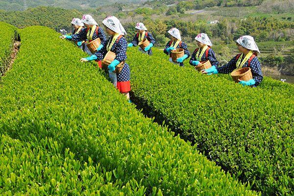 Плантації зеленого чаю