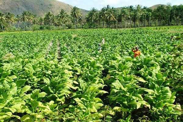 Тютюнові плантації
