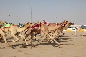 Верблюжі перегони. Абу-Дабі