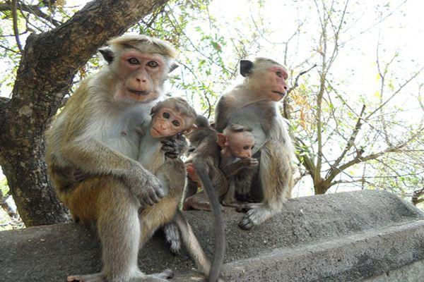 поради туристам на шрі-ланці щодо мавп